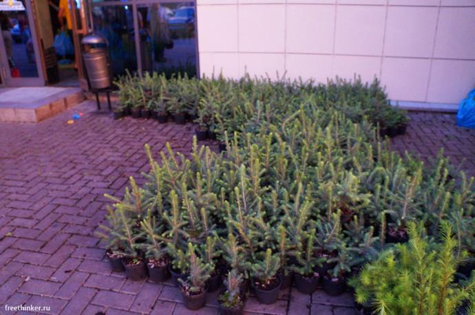 Сажанец хвойного растения «Императорского питомника»